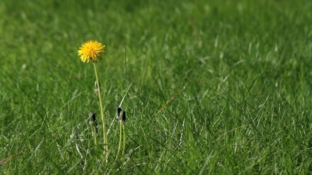 "Dandelion weed gets wacked Yellow dandelion weed on a green lawn gets ""wacked"" by a landscaper trimmer in the daylight of spring weeding stock videos & royalty-free footage"