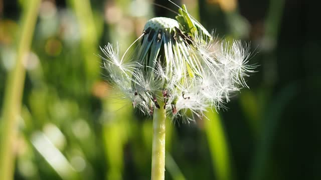 Dandelion with fluffy seeds are young in spring.