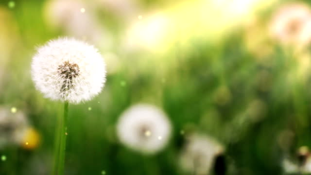 Dandelions in the meadow with pollens video