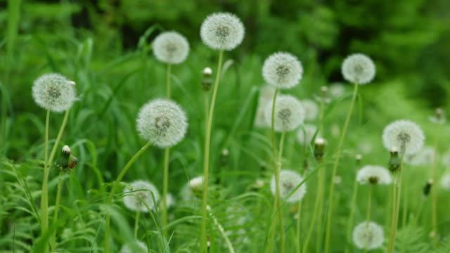 dandelions in the wind - дикая растительность стоковые видео и кадры b-roll