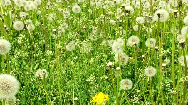 Dandelions meadow green grass background Dolly tripod. Sunny summer day close-up view blowballs field green. Fresh wind swing leaves of dandelions. Juice green colour of dandelion grass blowballs