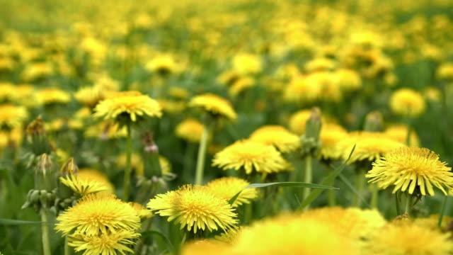 Dandelions on meadow. Yellow flowers in spring video