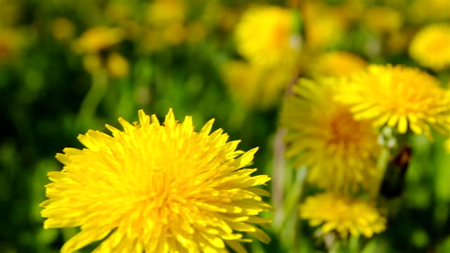dandelions, shooting slider, macro video