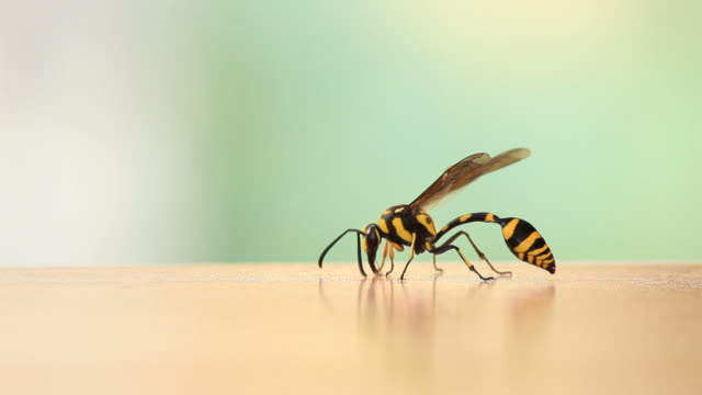 Danger Wasp. video