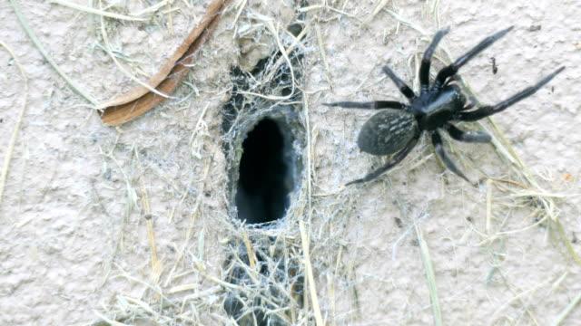 vidéos et rushes de dangereuse araignée noire australienne sortant de son entonnoir pour attraper des proies - entonnoir