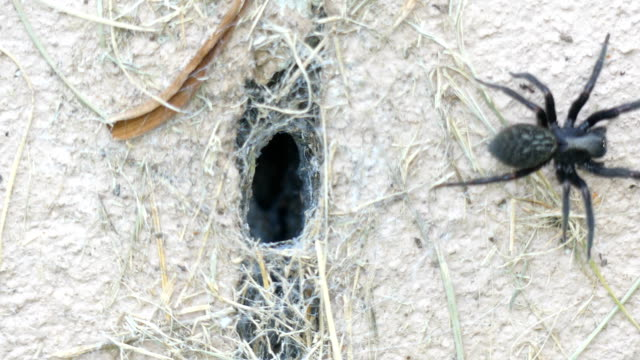 farlig svart australisk spindel kommer ut ur sin tratt för att fånga byte - spindelväv bildbanksvideor och videomaterial från bakom kulisserna