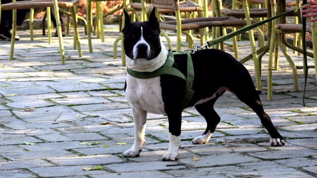 Dangerous dog standing ready for attack slow motion video