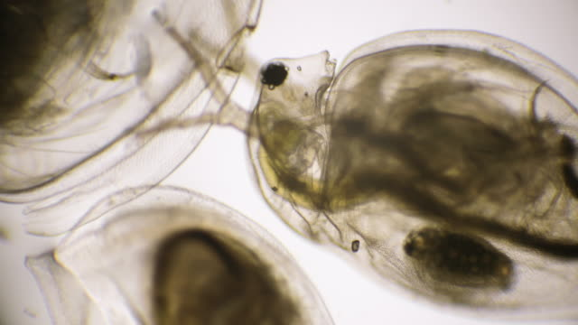Daphnia (Water Flea) under Microscope Daphnia, a genus of small planktonic crustaceans, are 0.2–5 millimetres in length. parasitic stock videos & royalty-free footage
