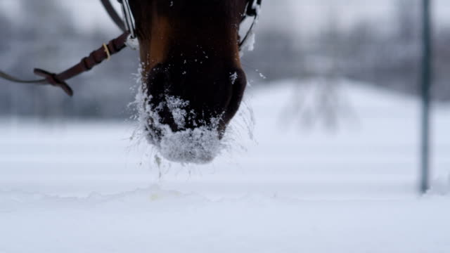 CLOSE UP: Dark bay horse playing with fresh snow in beautiful white winter video