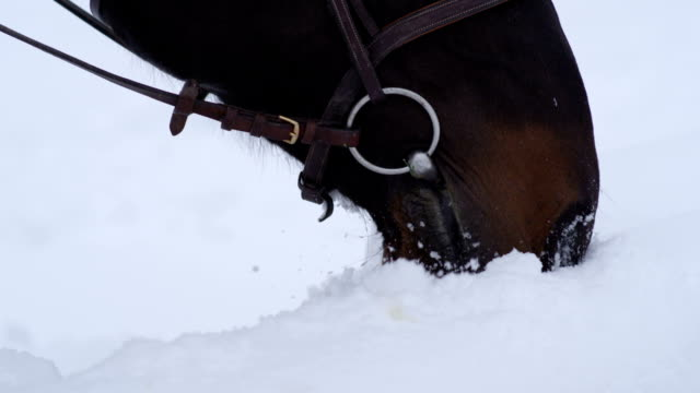 CLOSE UP: Dark brown horse playing with fresh snow in beautiful white winter video