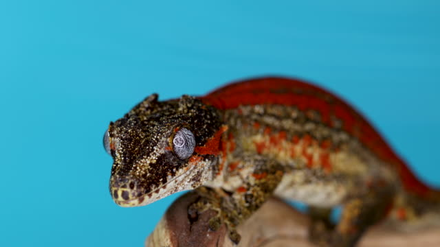 Dark Red And Brown, Gargoyle Gecko On A Branch Facing Camera And Sticking Out Its Tongue With A Blue Background A single Gargoyle Gecko with red, brown and yellow patterns on its skin on top of a branch, staring at the camera and sticking out the tongue with a bright blue background behind it. 4k gecko stock videos & royalty-free footage