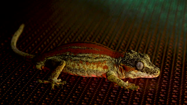 a dark red gargoyle gecko on a metal sheet getting sprayed with water while illuminated by red and green lights - gargoyle video stock e b–roll