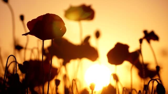vídeos y material grabado en eventos de stock de amapolas de color rojo oscuro ondeando en un gran campo en ucrania en una pintoresca puesta de sol - amapola planta