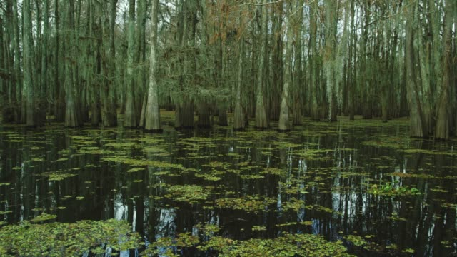 dark, thick cypress tree forest covered in spanish moss with floating salvinia in the atchafalaya river basin swamp in southern louisiana under an overcast sky - muschio flora video stock e b–roll