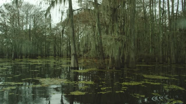 dark, thick cypress tree forest covered in spanish moss with floating salvinia in the atchafalaya river basin swamp in southern louisiana under an overcast sky - болото стоковые видео и кадры b-roll