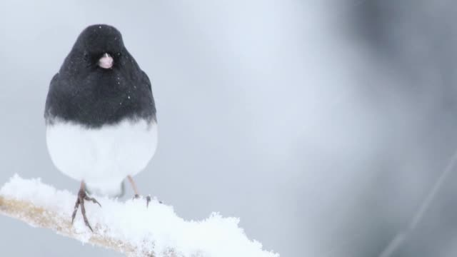 Dark-eyed Junco male, a cute dark gray and white bird, perched left on a twig during snowstorm
