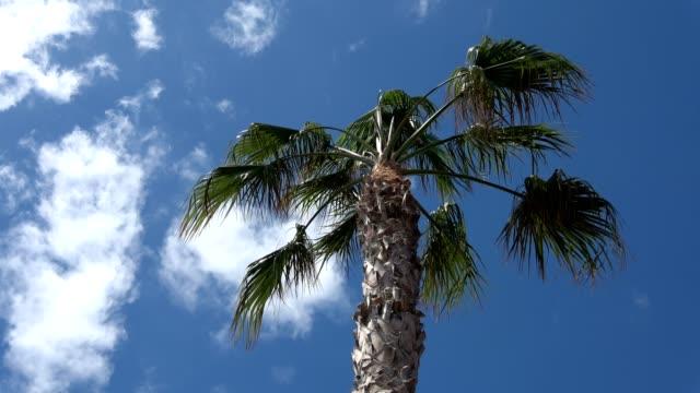 datum, palme, phoenix canariensis, palme, palme, fuerteventura, kanarische insel - endemisch stock-videos und b-roll-filmmaterial