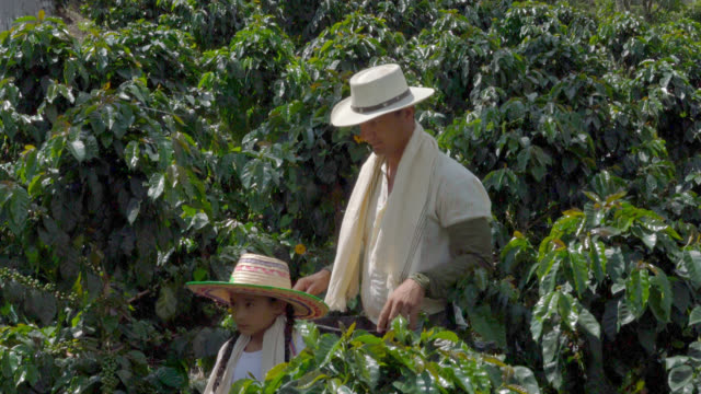 daughter and father walking through a coffee plantation - coffee farmer video stock e b–roll