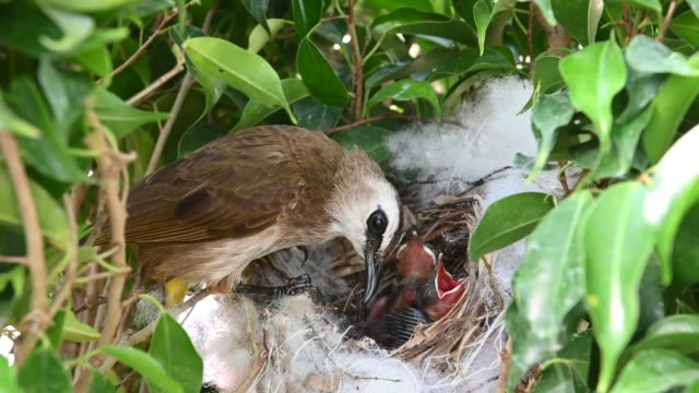 4 day old of baby birds in a nest of yellow-vented bulbul (pycnonotus goiavier), or eastern yellow-vented  is a kind of bird at thailand - {{asset.href}} video stock e b–roll