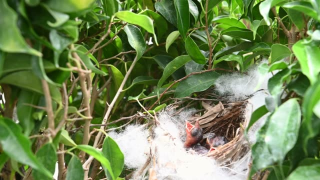 3 day old of baby birds in a nest of yellow-vented bulbul (pycnonotus goiavier), or eastern yellow-vented  is a kind of bird at thailand - {{asset.href}} video stock e b–roll