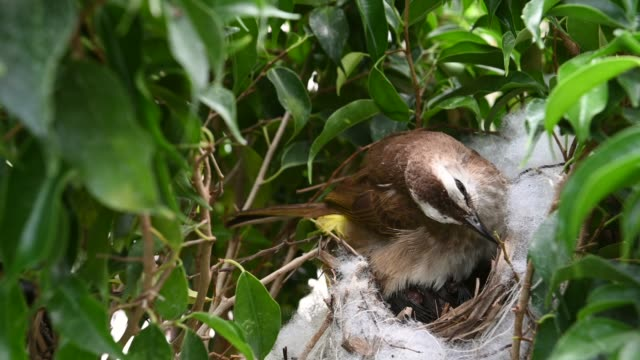 5 day old of baby birds in a nest of yellow-vented bulbul (pycnonotus goiavier), or eastern yellow-vented  is a kind of bird at thailand - {{asset.href}} video stock e b–roll
