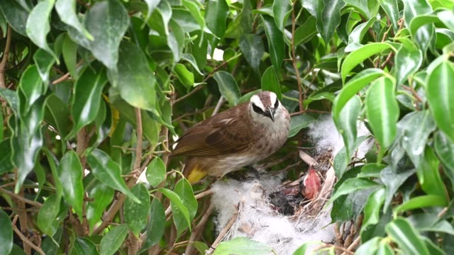 6 day old of baby birds in a nest of yellow-vented bulbul (pycnonotus goiavier), or eastern yellow-vented  is a kind of bird at thailand - {{asset.href}} video stock e b–roll