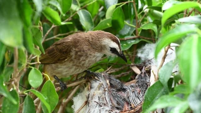 7 day old of baby birds in a nest of yellow-vented bulbul (pycnonotus goiavier), or eastern yellow-vented  is a kind of bird at thailand - {{asset.href}} video stock e b–roll