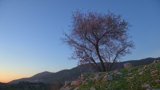 Day to Night Down Up Pan Time Lapse Almond Tree Blooming Galilee video