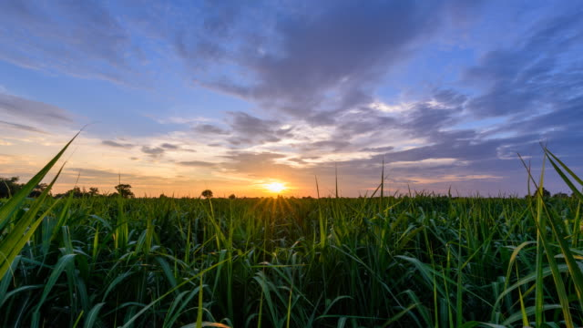 day to night time lapse of sugarcane field in sunset time - canna da zucchero video stock e b–roll