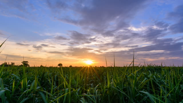 day to night zoom in  time lapse of sugarcane field in sunset time - canna da zucchero video stock e b–roll