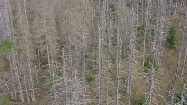 Dead and Dying Forest Caused by the Bark Beetle Aerial View A forest destroyed by bark beetle in the Harz national forest in Germany. The aerial view shows the dead and dying trees which have turned grey and eventually collapse. The beetle causes widespread deforestation and damage to woodland. plant bark stock videos & royalty-free footage