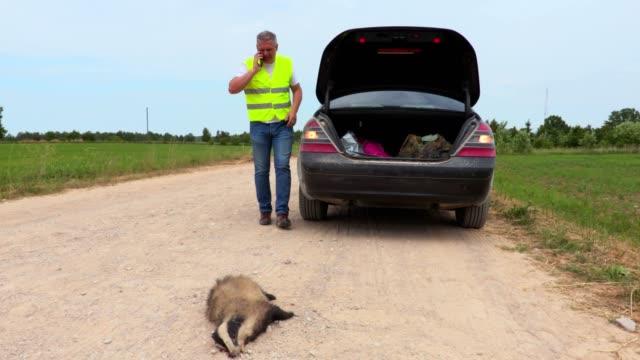 Dead badger on road near car video