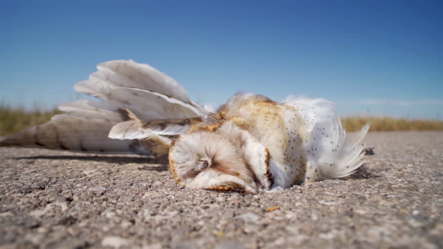 Dead Barn Owl on a highway side Dead Barn Owl on the highway side dead animal stock videos & royalty-free footage