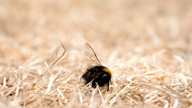Dead bee and two ants Two ants examine dead body of bumblebee lying on dried grass. Small dead animals insects are food for ants dead animal stock videos & royalty-free footage