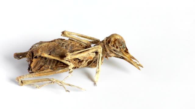 Dead bird skeleton zoom in video