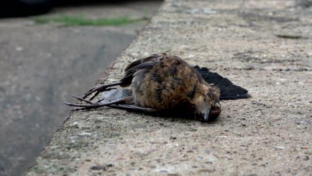 Dead Blackbird, Turdus merula, european blackbird, Amsel, road casualty, 4K Road traffic accident blackbird, turdus merula, Spessart dead animal stock videos & royalty-free footage