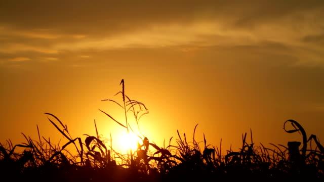 Dead Corn Field HD video