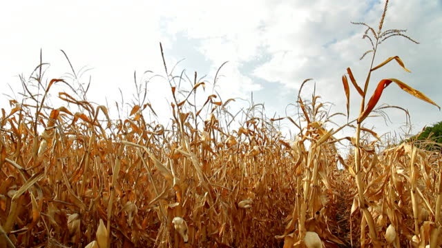 Dead Corn Field Pan HD video