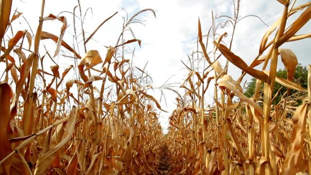 Dead Corn Field Row HD