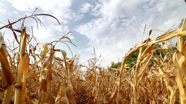 Dead Corn Field Zoom HD video
