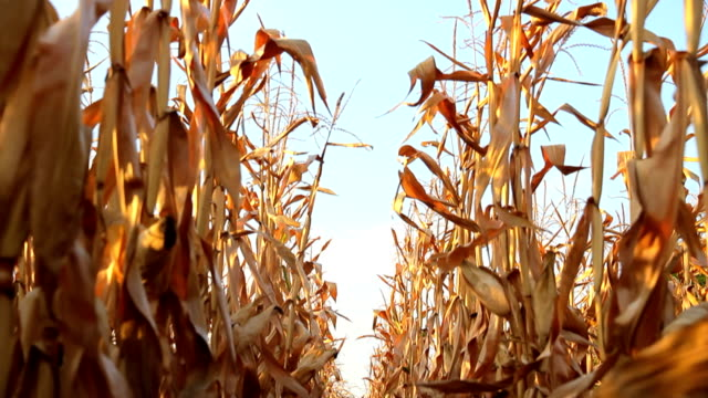 Dead Corn field Zoom Row HD video