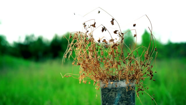 dead dry plant in pot against green nature background, drought concept, cotrast difference, climate change, ecology