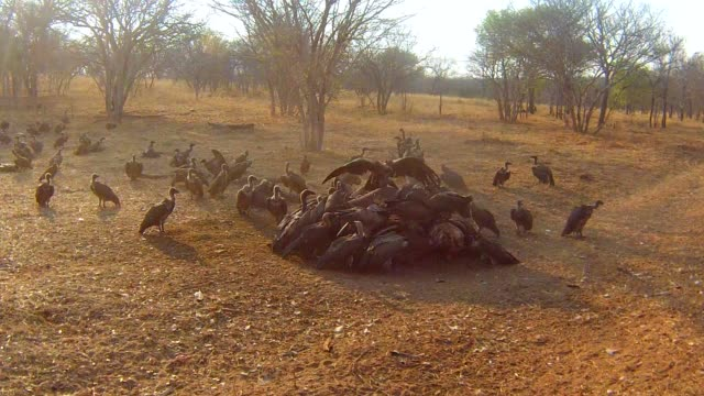 Dead elephant being eaten by vultures, Chobe National Park, Chobe river, Botswana