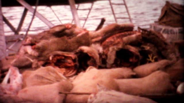 vídeos de stock e filmes b-roll de alce de mortos e veado ártico caça viagem - 1969 vintage 8 mm film - meat texture
