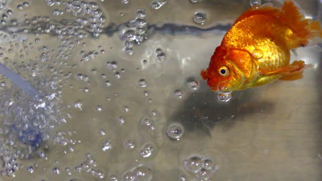 döda fantail guldfisk i ett akvarium. - djurkroppsdel bildbanksvideor och videomaterial från bakom kulisserna