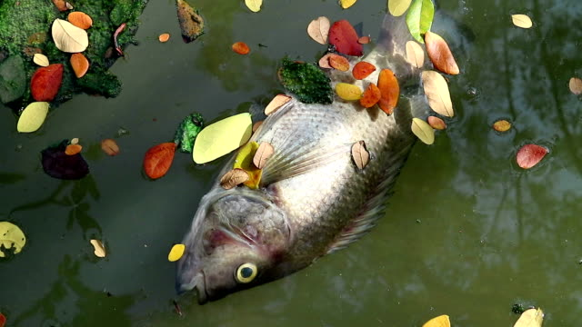 Dead fish and leaves floating planktonic algae water video
