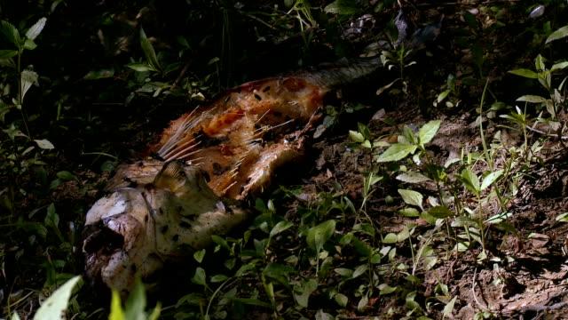 Dead Fish being devoured by Flies Wide video