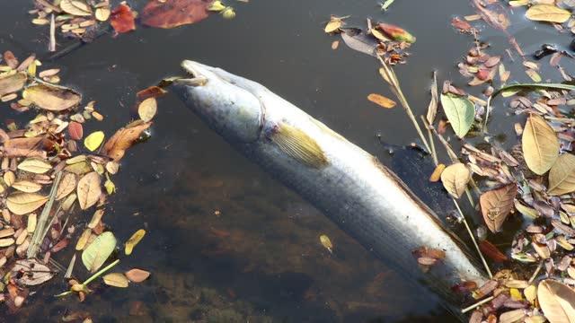 pesci morti in un canale industriale - acqua dolce video stock e b–roll