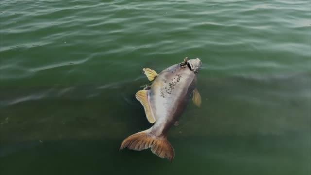suda ölü balık - ölü stok videoları ve detay görüntü çekimi