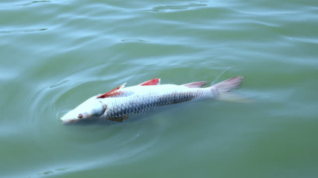 Dead fish in water video